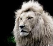 rare-white-lion-_-into-the-wild-_-pinterest